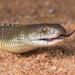 Pseudechis australis - Photo (c) Adam Brice, todos los derechos reservados