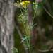Jacobaea erucifolia - Photo (c) Tig, todos los derechos reservados