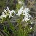 Stenaria nigricans - Photo (c) Jason Sharp, todos los derechos reservados, uploaded by SharpJ99