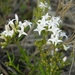 Stenaria nigricans - Photo (c) Jason Sharp, todos los derechos reservados, uploaded by SharpJ99