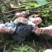 Hydnellum cyanopodium - Photo (c) Len Mazur, todos los derechos reservados