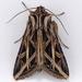 Girdler Moth - Photo (c) Gary McDonald, all rights reserved