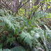 northern wood fern - Photo (c) Wendy Feltham, all rights reserved