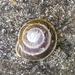 Caracolus marginella - Photo (c) Coralys Melendez Tur, todos los derechos reservados