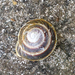 Banded Caracol - Photo (c) Coralys Melendez Tur, all rights reserved