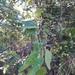 Bauhinia pentandra - Photo (c) José Vinícius A. de Medeiros, all rights reserved