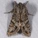 Egira cognata - Photo (c) Gary McDonald, all rights reserved