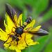 Physoconops excisus - Photo (c) amoorehouse, todos los derechos reservados