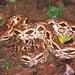 Acrantophis madagascariensis - Photo (c) Paul Freed, todos os direitos reservados