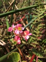 Image of Begonia fischeri