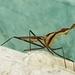 Derocephalus angusticollis - Photo (c) david_boccalatte, כל הזכויות שמורות