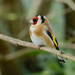 European Goldfinch - Photo (c) Paul, all rights reserved, uploaded by creaturesnapper