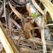 Phoneutria depilata - Photo (c) Duvan, todos los derechos reservados