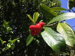 Thevetia ahouai image