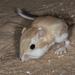 Rata Canguro de Sonora - Photo (c) Alice Abela, todos los derechos reservados