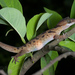 Bent-toed Geckos - Photo (c) Thomas Calame, all rights reserved