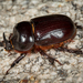 Western Rhinoceros Beetle - Photo (c) Alice Abela, all rights reserved