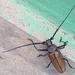 Callipogon armillatum - Photo (c) Fernando Flores Serrano, todos los derechos reservados