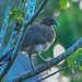 Guacharaca Caribeña - Photo (c) Marc Faucher, todos los derechos reservados
