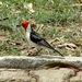 Red-cowled Cardinal - Photo (c) Evaldo Nascimento, all rights reserved, uploaded by Evaldo Heber