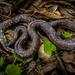 Mexican Burrowing Python - Photo (c) Elí García-Padilla, all rights reserved