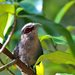 Green-billed Malkoha - Photo (c) Amar-Singh HSS, all rights reserved