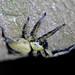 Thelcticopis - Photo (c) WK Cheng, todos los derechos reservados