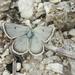 Agriades dardanus ergane - Photo (c) Max Parkhomenko, todos os direitos reservados