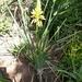 Aloe cooperi - Photo (c) Ian Pearson, todos los derechos reservados