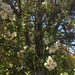 Eucryphia cordifolia - Photo (c) dangonvuk, all rights reserved