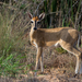 Bush Duiker - Photo (c) Rogério Ferreira, all rights reserved