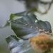 Hartigiola annulipes - Photo (c) Tig, todos os direitos reservados