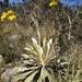 Espeletia boyacensis - Photo (c) sandragalean, todos los derechos reservados