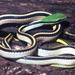Leptodrymus pulcherrimus - Photo (c) Paul Freed, todos los derechos reservados