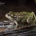 Ranoidea cyclorhynchus - Photo (c) Adam Brice, todos los derechos reservados