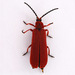 Red Net-winged Beetle - Photo (c) Gary McDonald, all rights reserved
