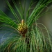 Chir Pine - Photo (c) Seangyeal Chhopheal, all rights reserved
