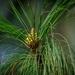 Pinus roxburghii - Photo (c) Seangyeal Chhopheal, כל הזכויות שמורות