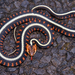 Garter Snakes - Photo (c) Paul Freed, all rights reserved
