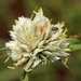 White Bluntflower Sedge - Photo (c) 101399503087242224530, all rights reserved