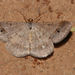 Peahen Moth - Photo (c) Wolf-Achim and Hanna Roland, all rights reserved