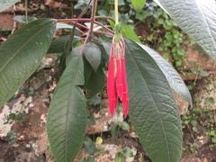 Image of Fuchsia triphylla