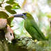 Groove-billed Toucanet - Photo (c) Marc Faucher, all rights reserved
