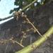 Macaranga peltata - Photo (c) junej, כל הזכויות שמורות