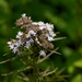 Narrowleaf Mountainmint - Photo (c) Eric Hunt, all rights reserved