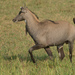Nilgai - Photo (c) Mike Hooper, all rights reserved