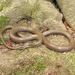Euprepiophis conspicillata - Photo (c) Shane Lowe, כל הזכויות שמורות