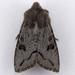 Orthosia erythrolita - Photo (c) Gary McDonald, all rights reserved