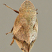 Diamondback Spittlebug - Photo (c) Bill Keim, all rights reserved