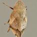 Lepyronia quadrangularis - Photo (c) Bill Keim, todos los derechos reservados